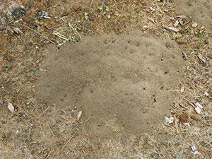 RIFA_ant-moundR