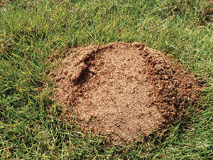"""Red Imported Fire Ants are a medical threat to people entering their generally large areas of nesting and activity,"" says Dr. Stuart Mitchell."