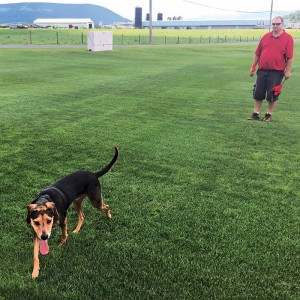 An adult beagle detects hidden samples of ABW in a controlled field trial at the Penn State turfgrass research center.