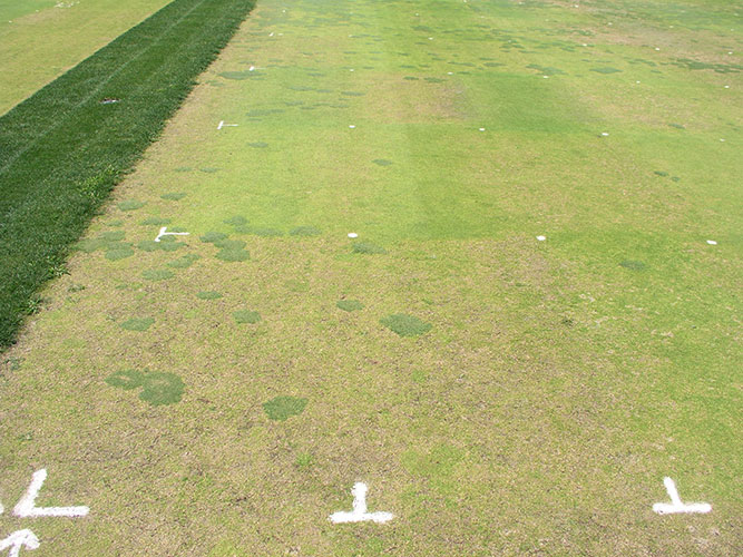 Figure 1: Destruction of Poa annua by anthracnose caused by the fungus Colletotrichum cereale. Untreated control plot in lower left with unaffected bentgrass filling in dead or thinned areas. Plots with treatments varying in efficacy are seen in the background.