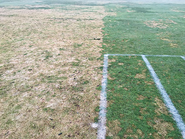 Despite the warm Figure 2 December, snow mold pressure at Marquette CC was very high.
