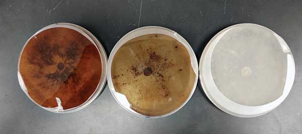 Figure 1 Morphology of Rhizoctonia solani AG 2-2 LP on potato dextrose agar (left), calcium nitrate-amended media (middle) and ammonium sulfate-amended media (right).