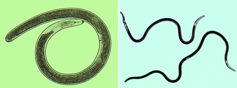 lance and sting nematodes