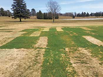 Intense snow mold pressure (Photo: Paul Koch)