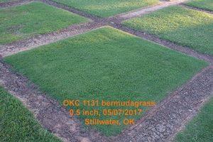 Tahoma 31 bermudagrass. Photo: Oklahoma State University
