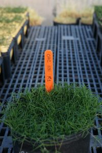 Tahoma 31 bermudagrass potted. Photo: Oklahoma State University