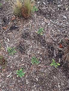 Poppy weeds (Photo: Hannah Schrum)