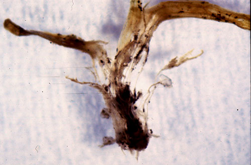 Deterioration of Poa annua crown tissue infected by anthracnose fungus | Photo courtesy: Dr. Wakar Uddin, Penn State
