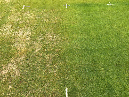 Anthracnose basal rot damage on Poa annua and the result of excellent chemical control on right | Photo courtesy: Dr. Wakar Uddin, Penn State