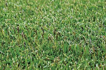 Closeup of Meyer zoysiagrass after mowing (Photo: Zac Reicher)