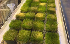 Visible differences in turf injury at seven days after application. (Photo: Ross Braun, Ph.D.)
