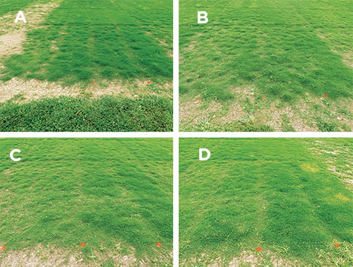 Bermudagrass cover (Photos: Gregg Munshaw)