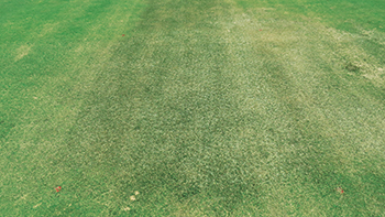 Leaf spot disease symptoms on an ultradwarf bermudagrass putting green. (Photo: Maria Tomaso-Peterson)