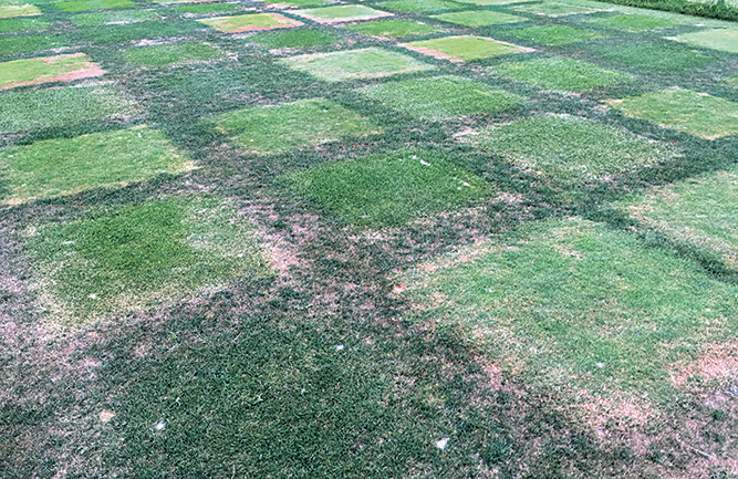 Cool-season fairway species (Photo: Cale Bigelow)