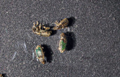 Annual bluegrass weevils (Photo: Charles Mazel)