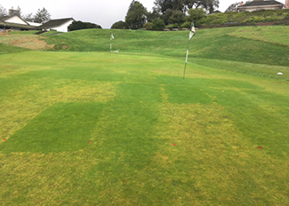 Damage from Anguina in untreated plots next to undamaged plots treated with Indemnify (Photo: Bayer)