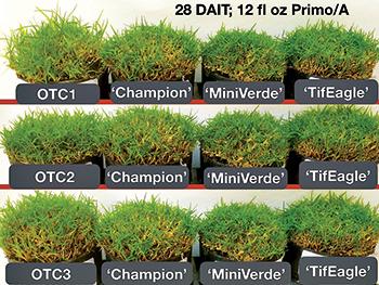Ultradwarf bermudagrass clusters (Photo: Eric Reasor)