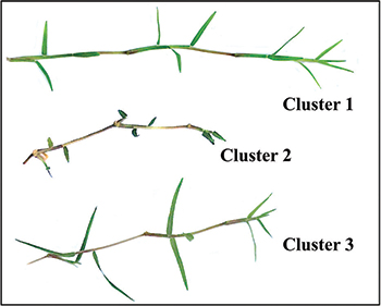 Sample of morphological cluster (Photo: Eric Reasor)
