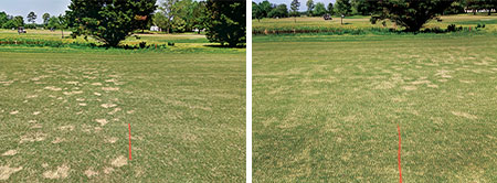 in the second photo above; fluxapyroxad + pyraclostrobin was applied on the left side of the fairway. (Photo: Pat Riebe)