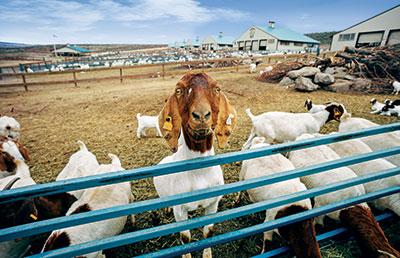 Goat (Photo: Silvies Valley Ranch/KemperLesnik)