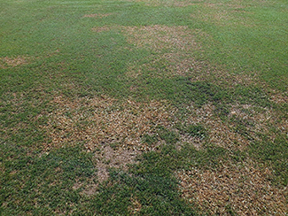 Bermudagrass remains unharmed following the application of Manuscript herbicide. Photo: Pinecrest Golf Club