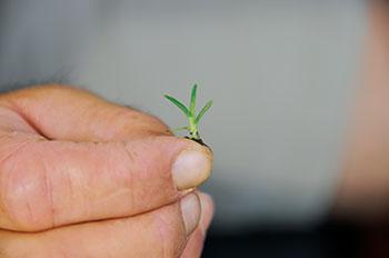 Seedling goosegrass (Eleusine indica) emerging in late spring. (Photo: Jim Brosnan, Ph.D.)