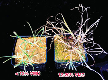 Effect of volumetric soil moisture content (VMC) on goosegrass control 28 days after treatment with Tribute Total at 3.2 oz/A in a greenhouse with surfactant. (Photo: Jim Brosnan, Ph.D.)
