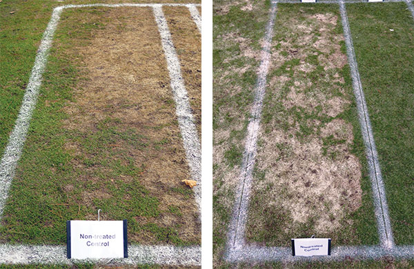 Nontreated control plots from research sites in Minocqua, Wis., (left) and Marquette, Mich. (right). The snow mold observed in Minocqua was almost all speckled snow mold, while the snow mold observed in Marquette was almost all pink snow mold. (Photo: Paul Koch)