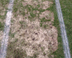 Snow mold damage (Photo: Paul Koch)