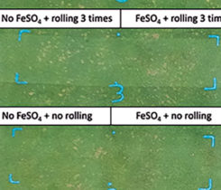 Effect of FeSO4 and lightweight rolling on dollar spot suppression. (Photo: Travis Roberson)