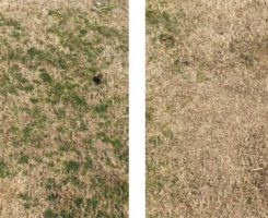 Effect of herbicides on turf (Photos: Lane Tredway)