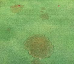 Brown patch shows up as irregular or circular patches of turf with a brown or tan color in the middle. (Photo: NC State University)