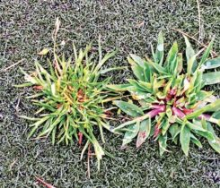 Crabgrass, as seen on this Poa annua green, can be controlled by preemergence herbicides. (Photo: Syngenta)