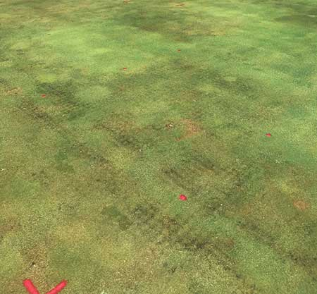 Jim Kerns' Pythium root rot trial in 2018. The green spots indicate treatment with Segway or Union fungicides. (Photo: Jim Kerns)