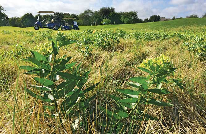 Milkweed plants provide an essential habitat for monarch butterflies in out-of-play areas on golf courses. (Photo: Dan Potter, Ph.D.)