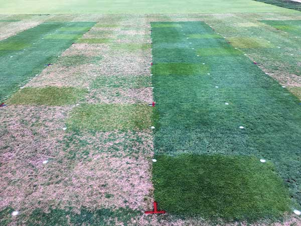 The photo shows plots no longer receiving fungicide applications (left) and those that are treated (right). The five trial runs allowed the Rutgers University team to monitor disease progression through the entire season (April to November). (Photo: James Hempfling)