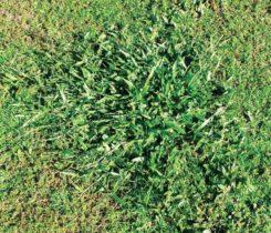 Tropical signalgrass (Photo: Bert McCarty)