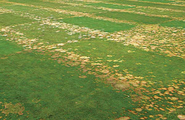 The experiment on a USGA sand-based putting green with Poa annua included three elemental sulfur treatments combined with four calcium sources. (Photo: Alec Kowalewski, Ph.D.)