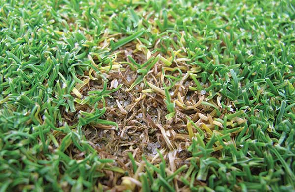 Researchers at Rutgers University have developed best management practices for anthracnose. In this photo, leaves have turned yellow to brown and are sprinkled with black spore-bearing structures. (Photo: James Hempfling)