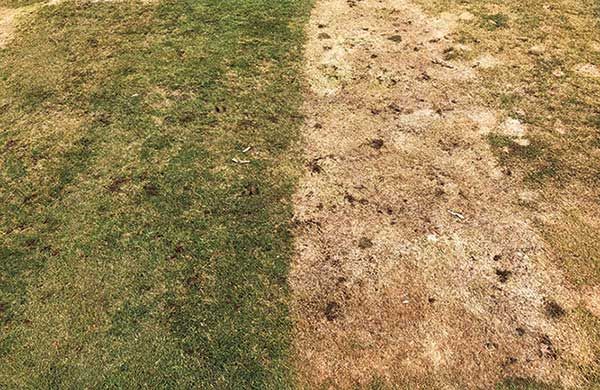 Many treatments provide highly effective snow mold control despite really high disease pressure at our research site on Marquette GC in Marquette, Mich. (Photo: Paul Koch)