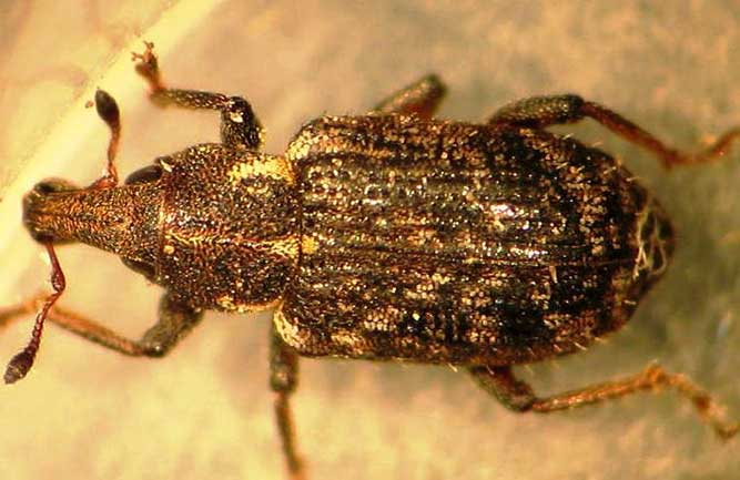 Annual bluegrass weevil adult (Photo: Ben McGraw)