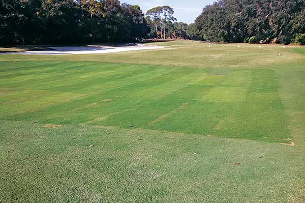 Entries were established in 100-square-foot plots, replicated three times where fairway traffic is evident and outside of landing zones. (Photo: David Gardener, Ph.D.)