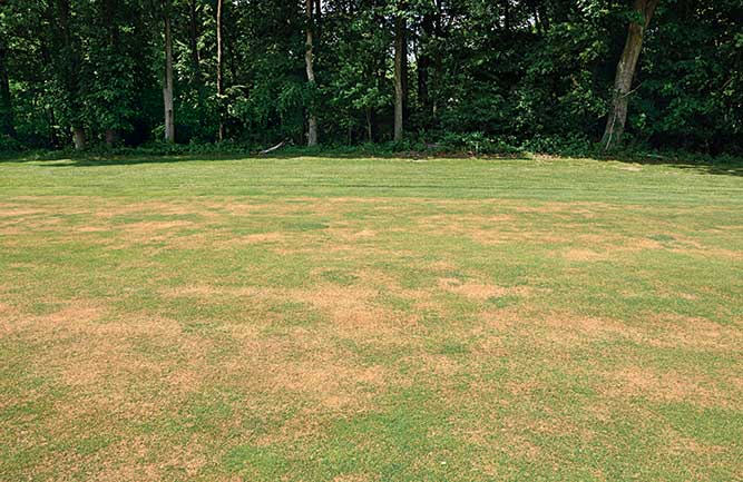 Annual bluegrass weevil damage (Photo: Ben McGraw)