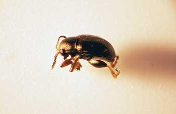 <strong>Photo 2</strong> Flea beetle (Photo: Ben McGraw)