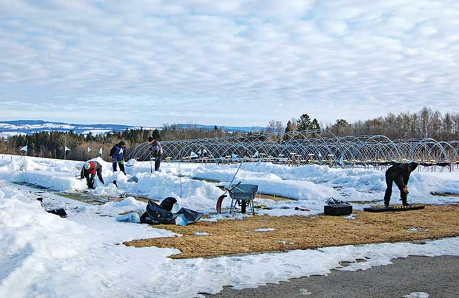 Turfgrass researchers at the Norwegian Institute for Bioeconomy Research evaluate the impact of ice encasement and two protective covers on the winter survival of six cool-season turfgrasses used on golf greens. (Photo: Wendy M. Waalen, Ph.D.)