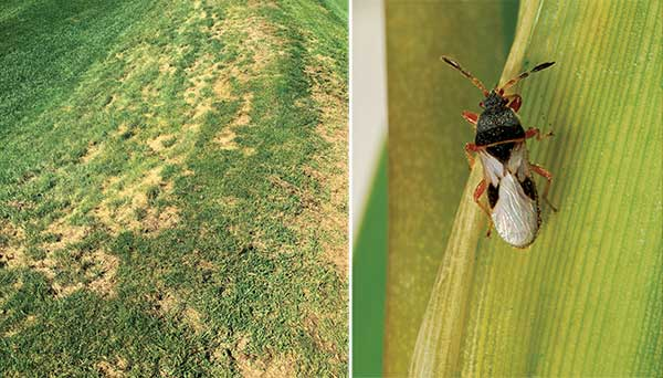 Left: Chinch bug damage on a south-facing slope at a Pittsburgh-area golf course. Right: A closer look at the Blissus insularis, the southern chinch bug. (Photos by: Mike Agnew, PH.D., Syngenta (left); Lyle Buss (right))