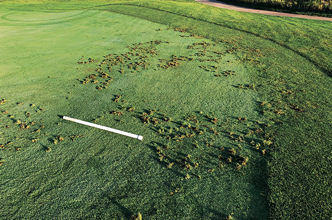 Wildlife pursuing grubs can cause damage to turf. (Photo courtesy of Doug Hausman)