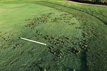 Wildlife pursuing grubs can cause damage to turf. (Photo courtesy of Doug Hausman)