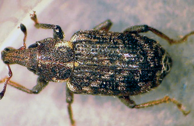 Adult annual bluegrass weevil (Photo: Ben McGraw)