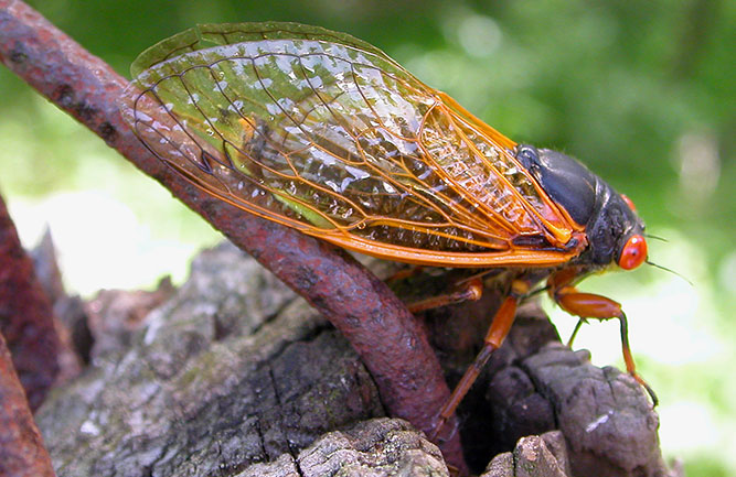 Cicada (Photo: 2manydogs / iStock / Getty Images / Getty Images Plus)